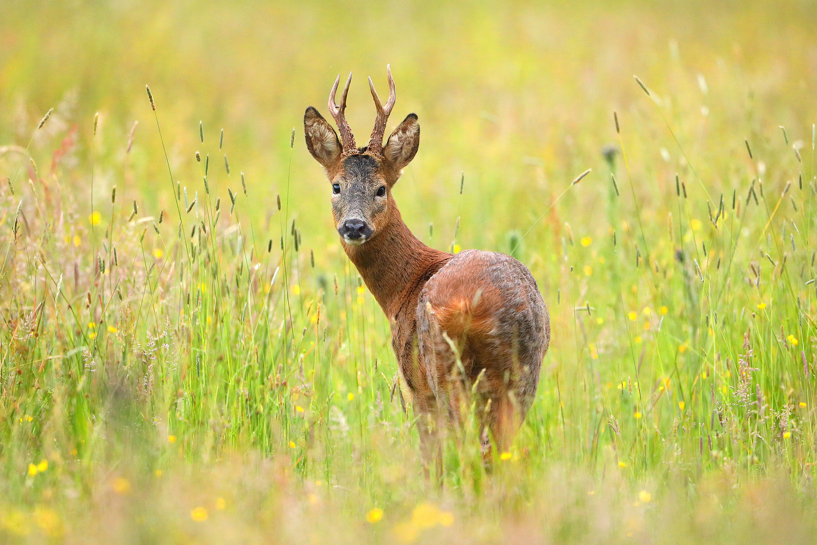 Mature Roe Buck in Summer Meadow