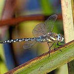 "Male Emperor dragonfly or blue emperor ""Anax imperator"""