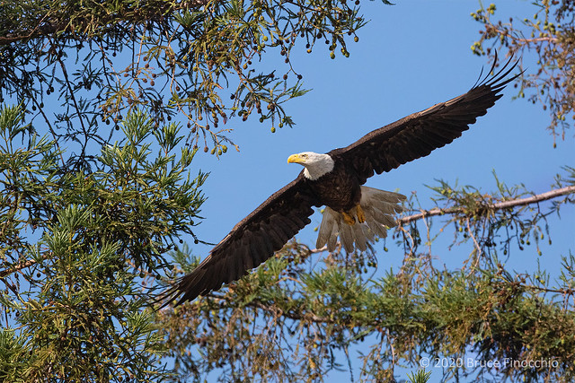 Redwood Branches Frame A Bald Eagle In Flight With Wings Spread Out
