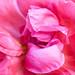 Pink Rose, 4.15.20