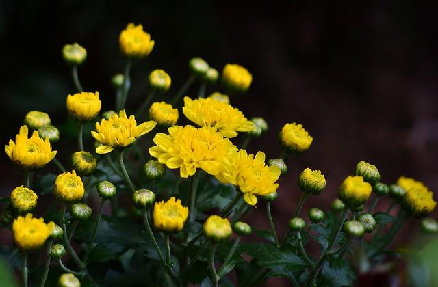 Munich - Little Chrysanthemums