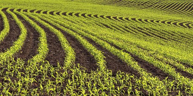 *corn field abstract*