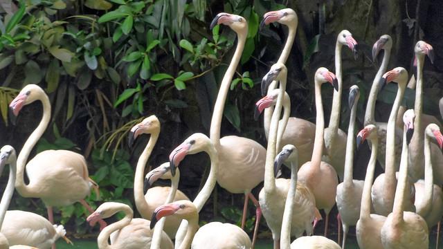 Flamingos at Jurong Bird Park, Singapore