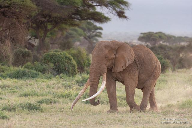 African Elephant - Loxodonta