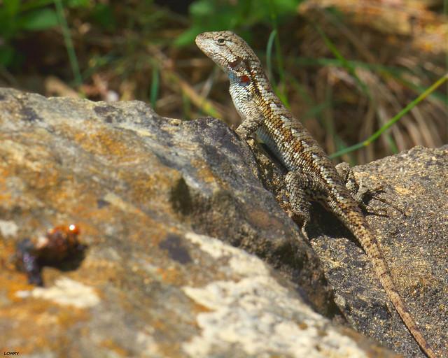 Fence Lizard  (Sceloporus undulatus)Buena Vista GladeHarrison County, Indiana