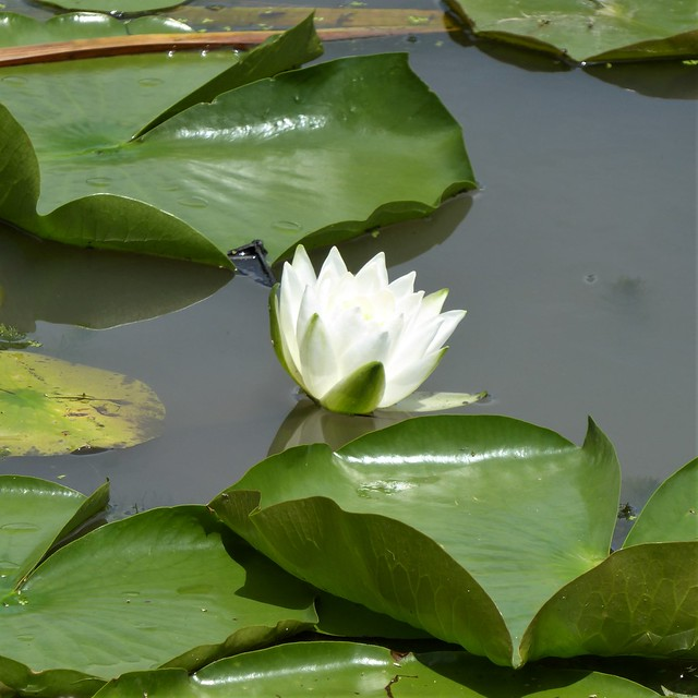 Wheaton, IL, Firefighters' Park, White Water Lily