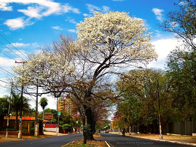 Lapacho Blanco
