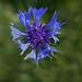 Flickr photo 'Centaurea cyanus L.' by: chemazgz.