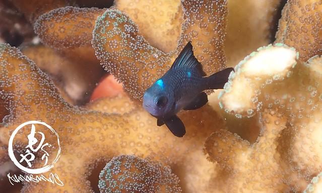 ちっちゃい頃はすんごく可愛い♡ミツボシクロスズメダイ幼魚