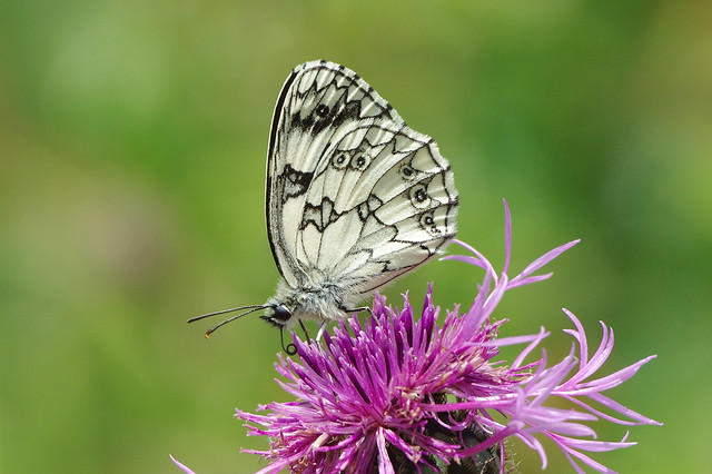 K32P1189c Marbled White, Devil's Dyke, June 2020