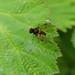Snipe Fly (Chrysopilus cristatus)