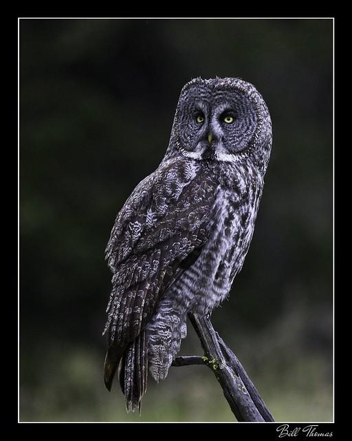 Great Grey Owl - 2020 -002