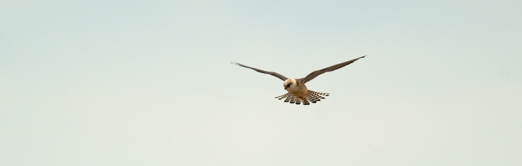 Female Red-footed Falcon - never came near