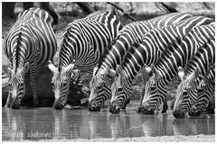 absorbing stripes