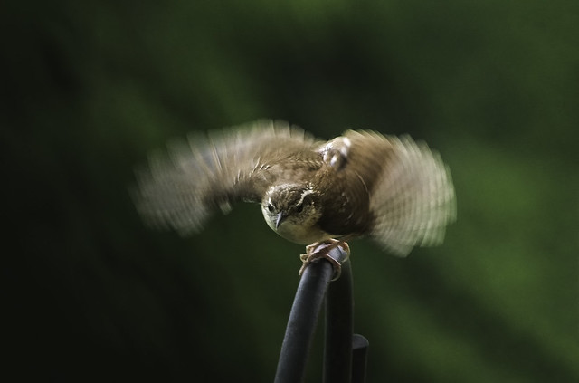Wren, ready to fly