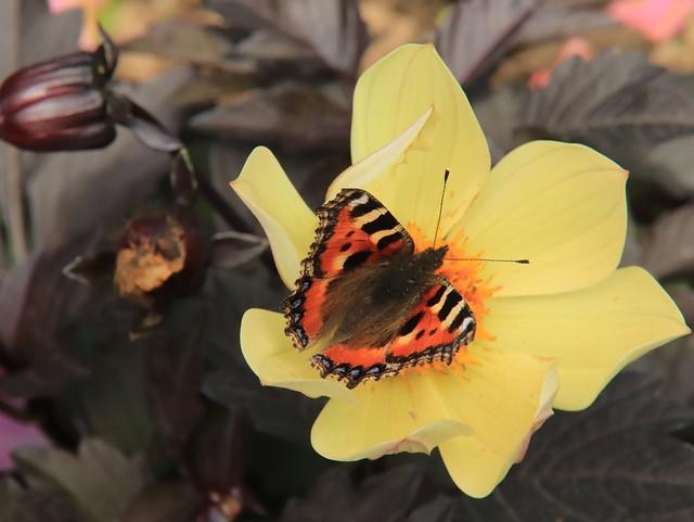 Tortoiseshell butterfly in my Garden