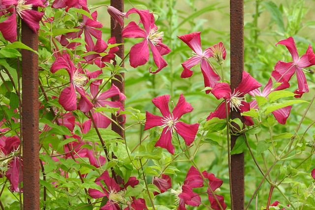Pretty Red Clematis