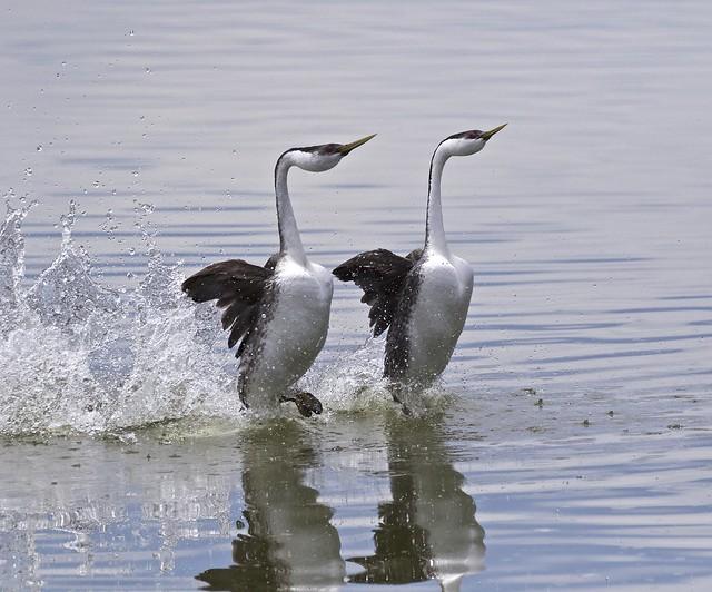 WESTERN GREBE mating dance