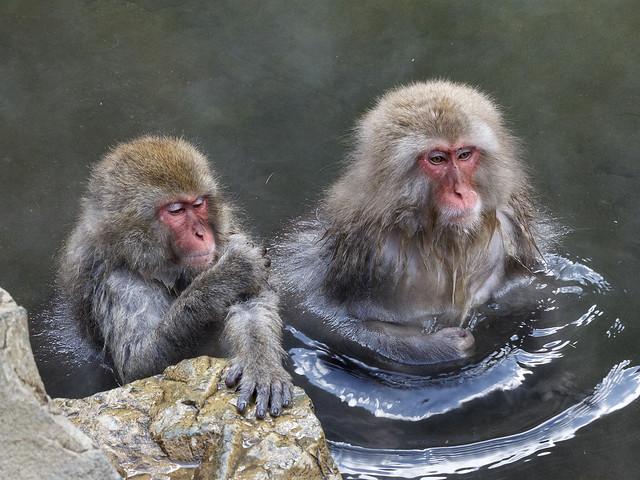 Japanese macaques bathing, Jigokudani Yaen Kōen, Yamanouchi, Jōshin'etsu-kōgen National Park, Nagano Prefecture, Japan