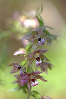Epipactis helleborine  (L.) Crantz 1769  Orchidaceae