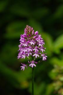A woodland Pyramidal Orchid