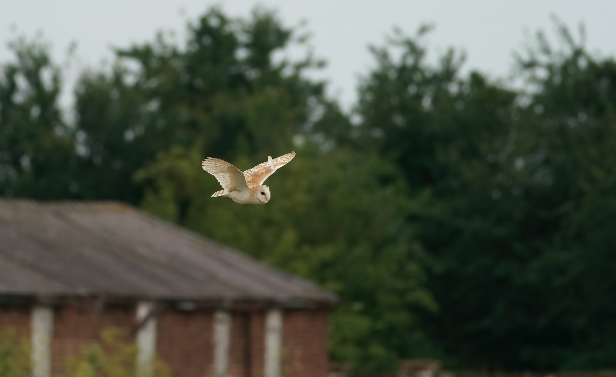 Barn Owl - distant - pretty good on the old 400 f5.6 Canon