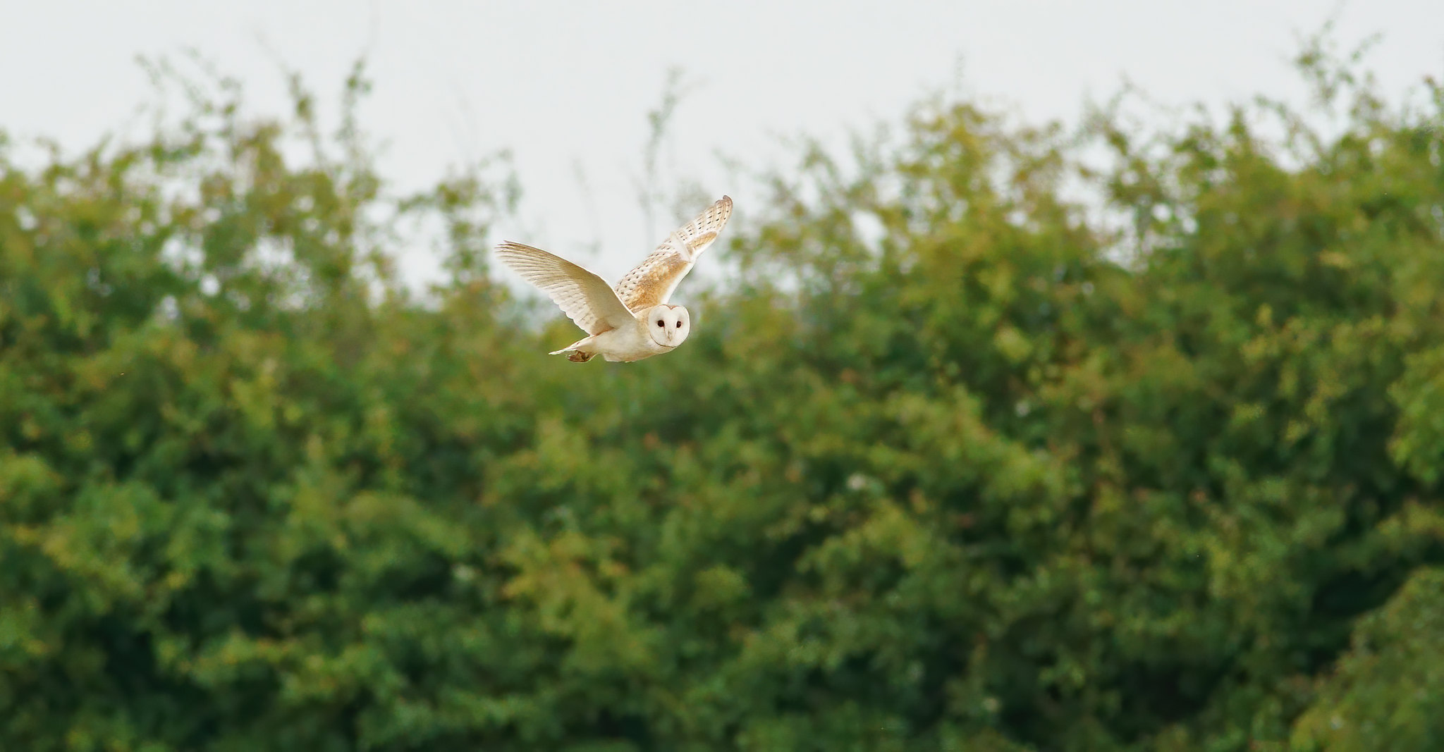 Barn Owl - distant- pretty good on the old 400 f5.6 Canon