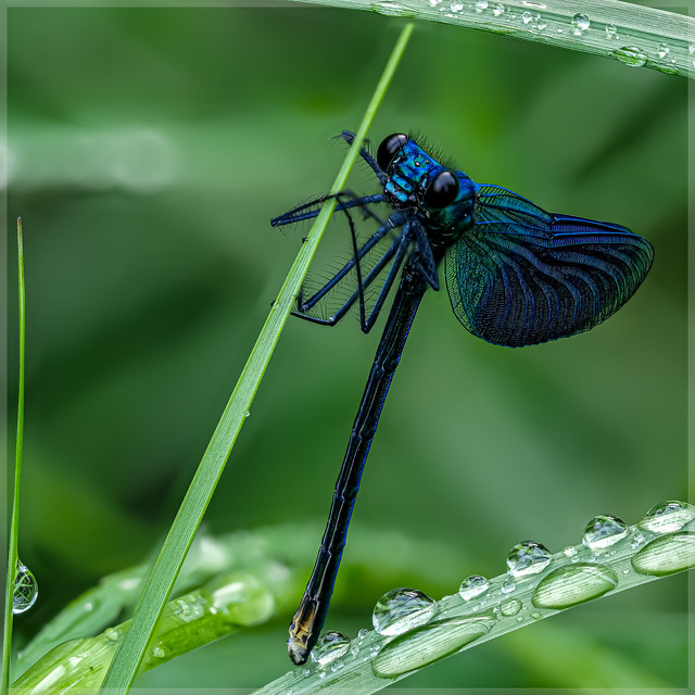 Calopterygidae_91626FS