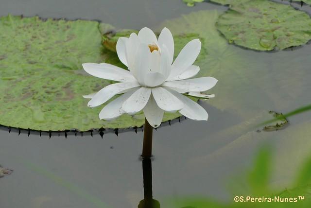White Lotus Flower, Paramaribo, Suriname