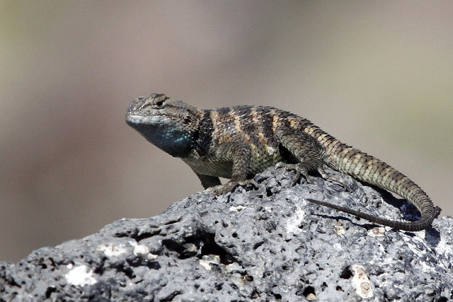 Male Yellow-backed Spiny Lizard