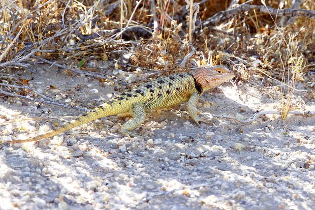 Female Yellow-backed Spiny Lizard