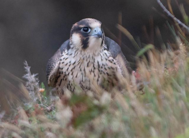 Juvenile Peregrine Falcon.