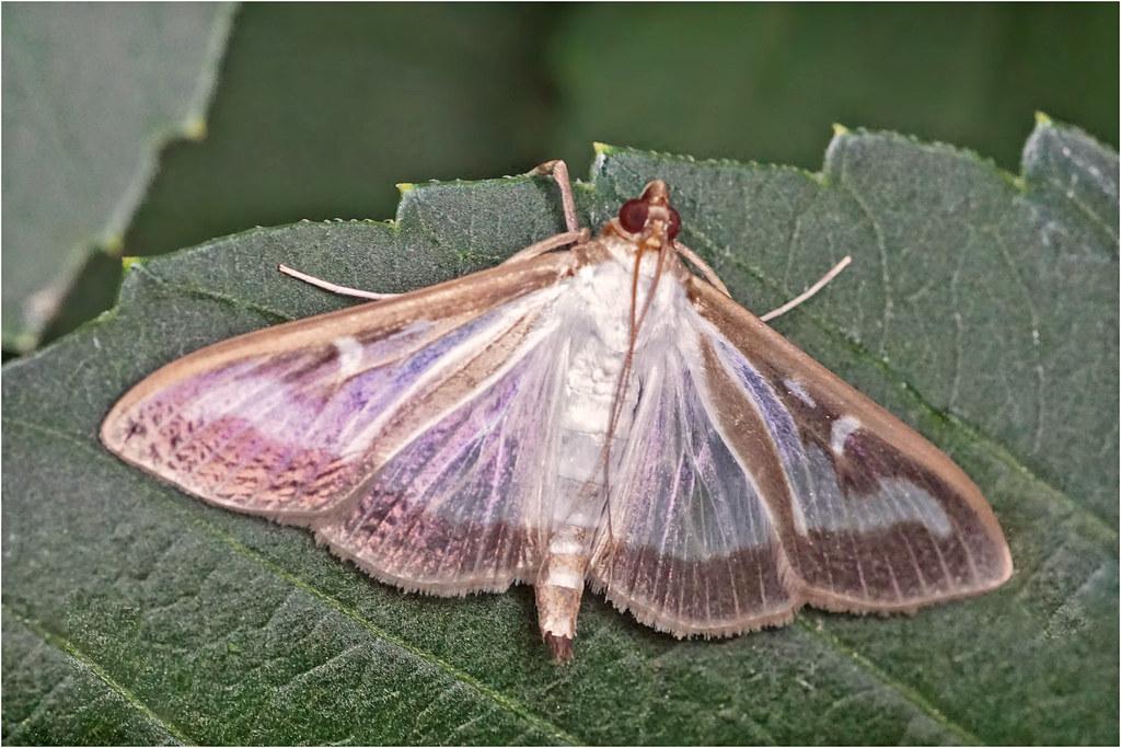 Box tree moth (Buxusmot)