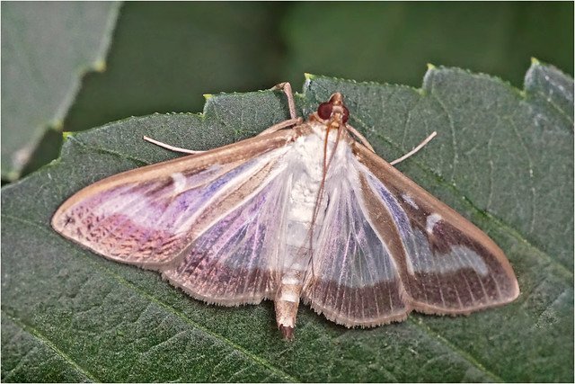Box tree moth (Buxusmot)