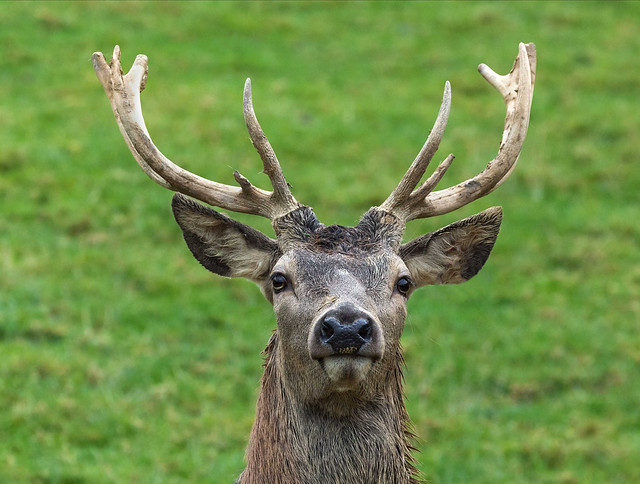 Red deer stag standing proud and erect (EXPLORED)