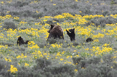 Help, I'm posting pictures of 399 and her cubs and I can't stop!
