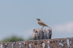Pipit Rousseline – Tawny Pipit – Anthus campestris