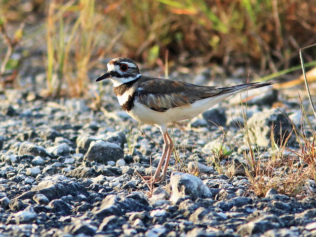 Killdeer 3-20200701