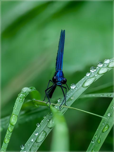 Calopterygidae_92297FS
