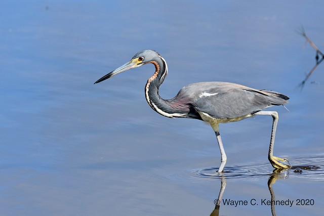 Tricolored Heron along Black Point Drive MINWR