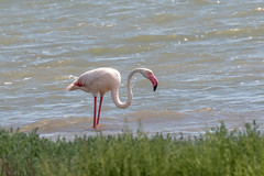 Flamant Rose – Greater Flamingo – Phoenicopterus roseus