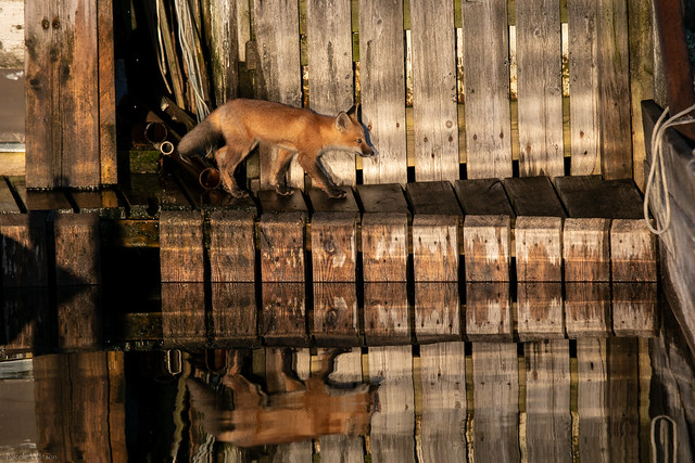 Early Morning Dock Fox