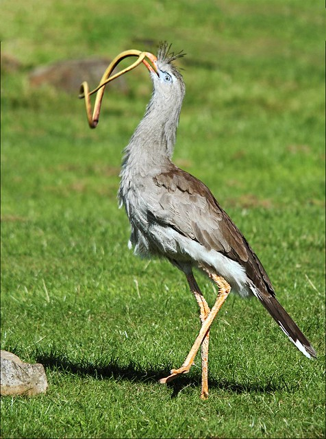Red-legged Sereima with its quarry