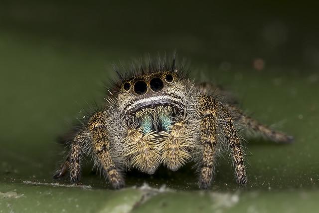 Phidippus johnsoni (Johnson Jumper) immature female