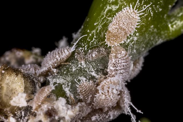 Mealybugs (Planococcus lilacinus)? on Coffea arabica