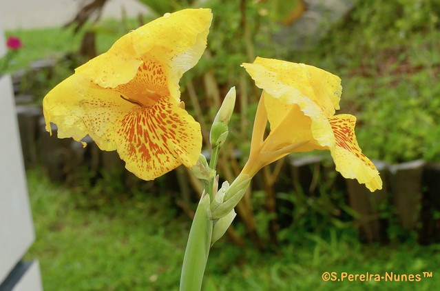 Canna-Lily, Bananeirinha-de-jardim, Paramaribo, Suriname