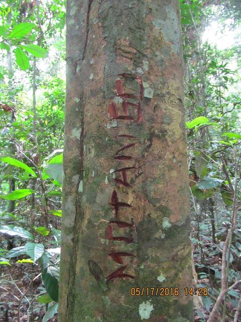 "Kitona's ""signature"" on a tree copy"