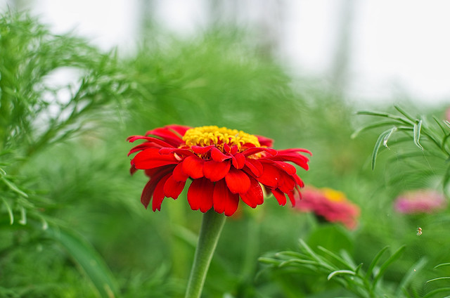 red zinnia (and spider)