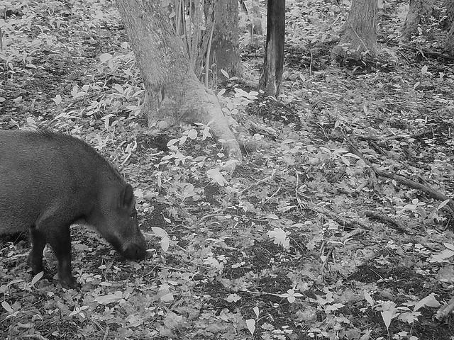 Metssiga / Wild boar