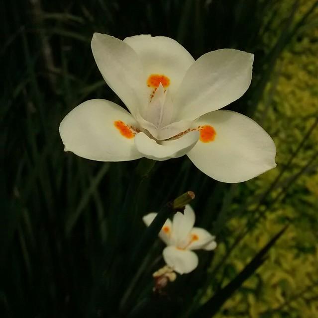 Iris Sudafricana Bicolor (Dietes bicolor)